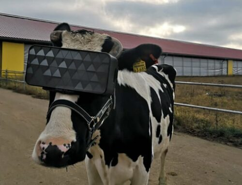 Russian cows: VR technology boosts milk production